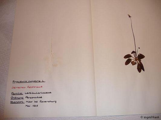 (113) Pinguuicula vulgaris - Gemeines Fettkraut