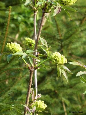 Sambucus racemosa - Berg-Holunder