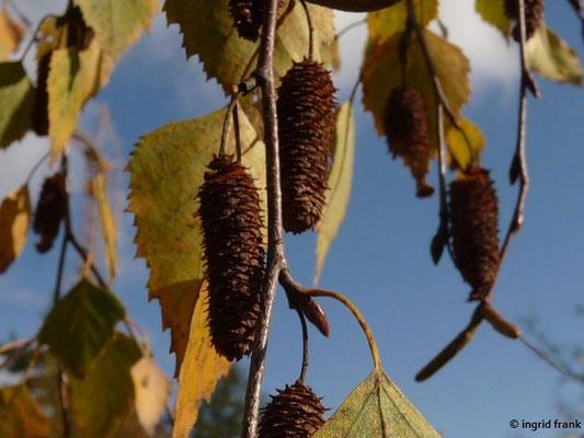 Betula pendula / Hänge Birke, Gewöhnliche Birke
