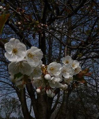 Prunus cerasus - Sauer-Kirsche, Weichsel    IV-V