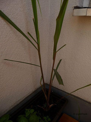Cymbopogon citratus - Zitronengras, Lemongras
