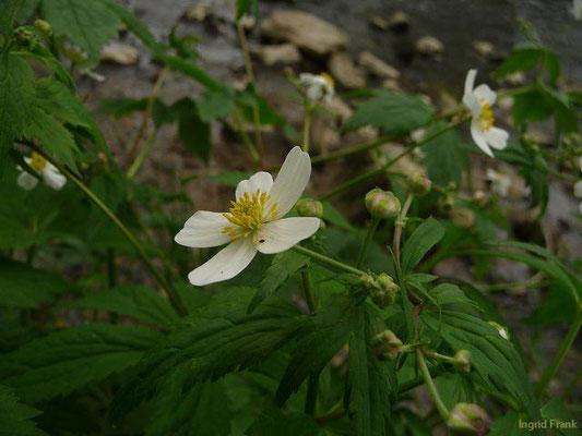 Ranunculus aconitifolius / Eisenhutblättriger Hahnenfuß    V-VII