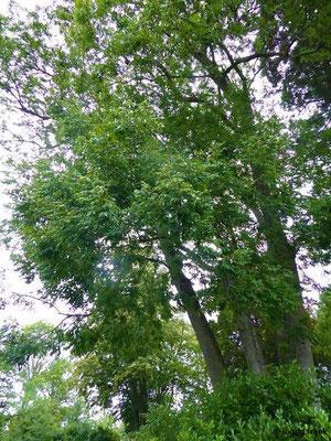 Fraxinus excelsior / Gewöhnliche Esche