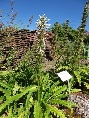 Morina longifolia - Steppendistel