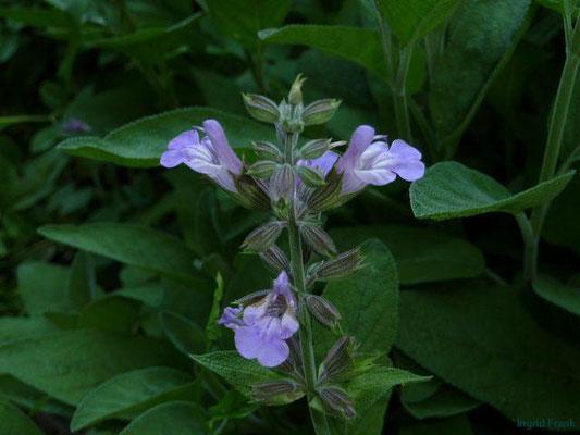 Salvia officinalis / Echter Salbei    V-VII