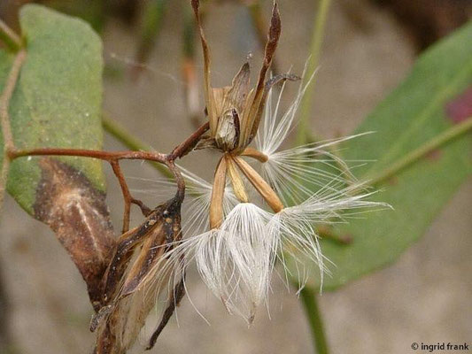Prenanthes purpurea - Purpur-Hasenlattich