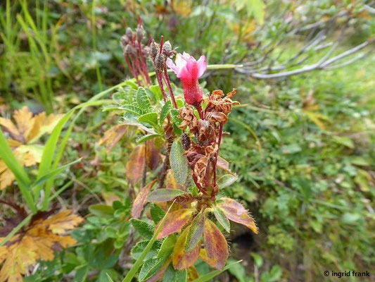 Rhododendron hirsutum / Bewimperte Alpenrose, Almrausch