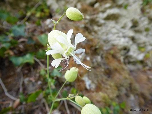 Silene vulgaris - Gewöhnliches Leimkraut, Taubenkropf-Leimkraut
