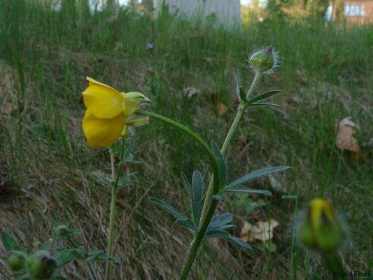 15.04.2011-Ranunculus bulbosus - Knolliger Hahnenfuß(in Überlingen)