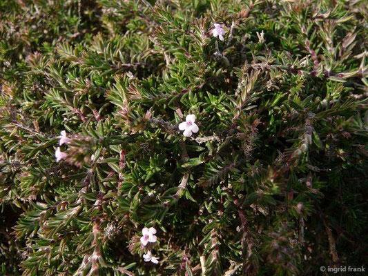 Micromeria varia - Veränderliche Bergminze