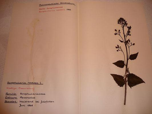 (108) Scrophularia nodosa - Knotige Braunwurz