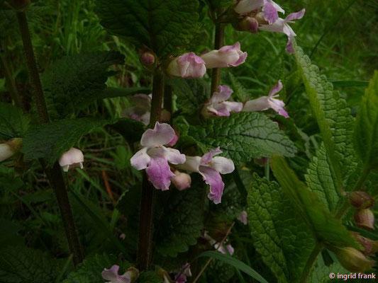 Melittis melissophyllum / Immenblatt