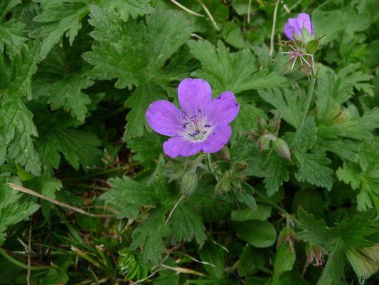 Geranium sylvaticum - Wald-Storchschnabel    V-VII