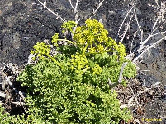 Astydamia latifolia - Nymphendolde