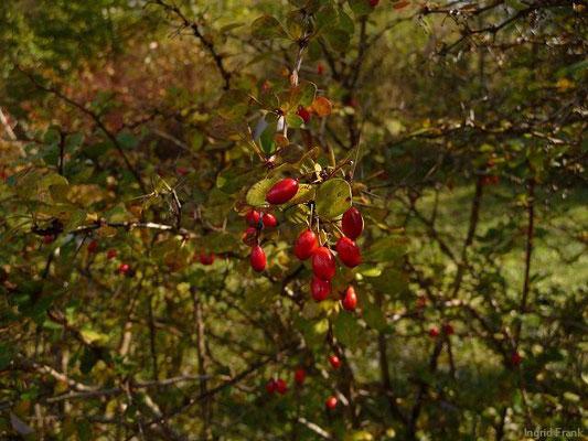 Cotoneaster divaricatus - Gespreizte Zwergmispel