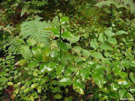 Vaccinium myrtillus / Heidelbeere, Blaubeere