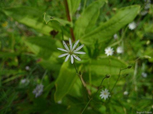 Stellaria graminea / Gras-Sternmiere