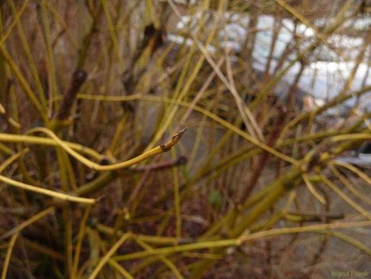 20.01.2012-Cornus sericea - Sprossender Hartriegel