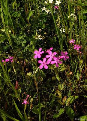 Silene armeria - Nelken-Leimkraut (vermutlich Wildblumensaat)