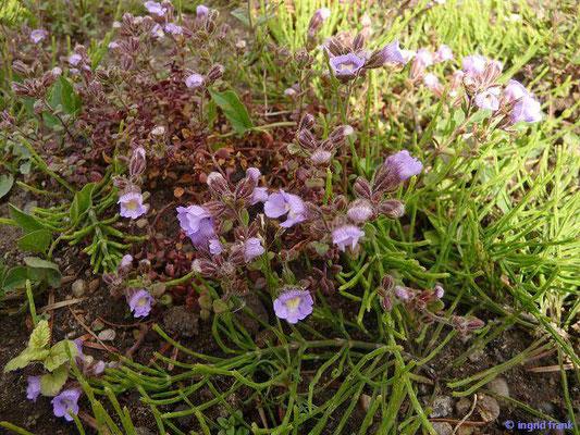 Chaenorrhinum organifolium - Dostblättriger Klaffmund    VII-X