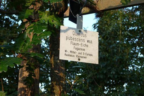 Quercus pubescens - Flaum-Eiche