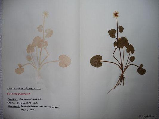 (8) Ranuncuus ficaria - Scharbockskraut