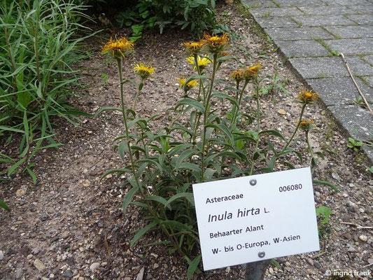 Inula hirta / Behaarter Alant (Botanischer Garten Universität Heidelberg)
