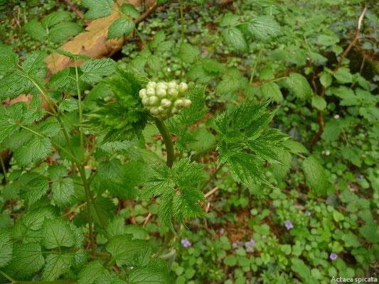 29.04.2012- Actaea spicata - Christophskraut