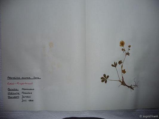 (24) Potentilla aurea - Gold-Fingerkraut