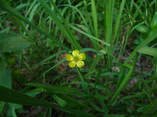 Ranunculus flammula / Brennender Hanenfuß    V-IX