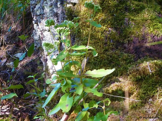 Hylotelephium maximum - Große Waldfetthenne    VII-IX