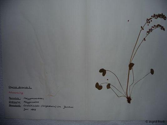 Oxyria digyna - Alpen-Säuerling