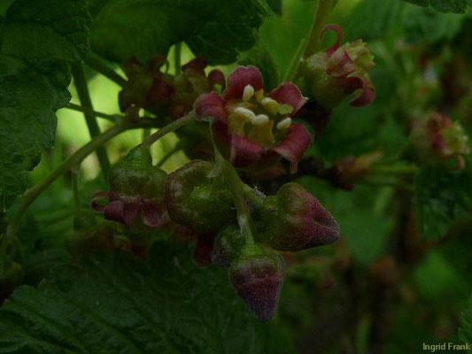 Ribes nigrum - Schwarze Johannisbeere    IV-V