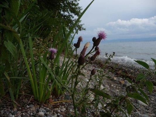 23.07.2011-Cirsium arvense - Acker-Kratzdistel (bei Immenstaad)