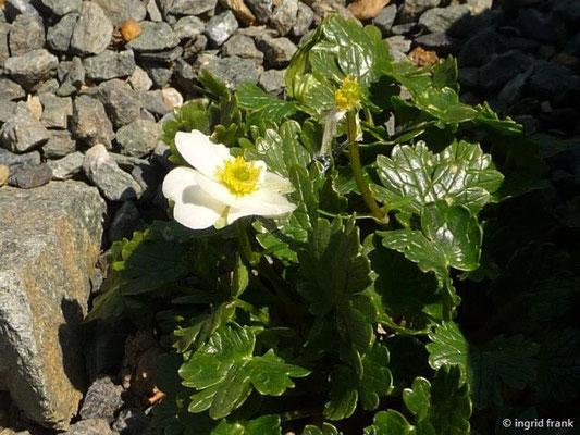 Ranunculus alpestris / Alpen-Hahnenfuss (Botanischer Garten Adorf im Vogtland)
