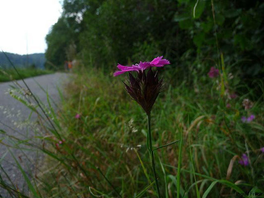 Dianthus carthusianorum - Karthäuser-Nelke