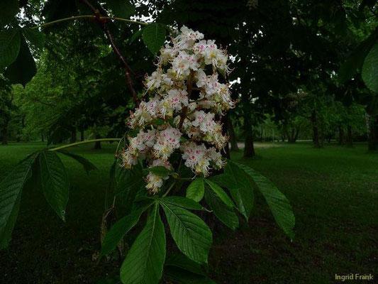 Aesculus hippocastanum - Gewöhnliche Rosskastanie