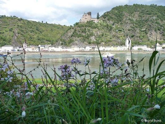 Blick zur Burg Katz, im Vordergrund Seifenkraut