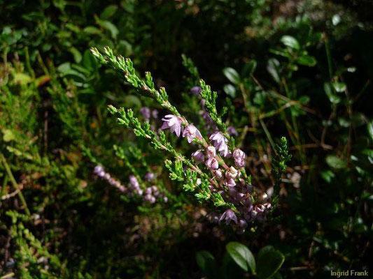 Calluna vulgaris - Heidekraut, Besenheide