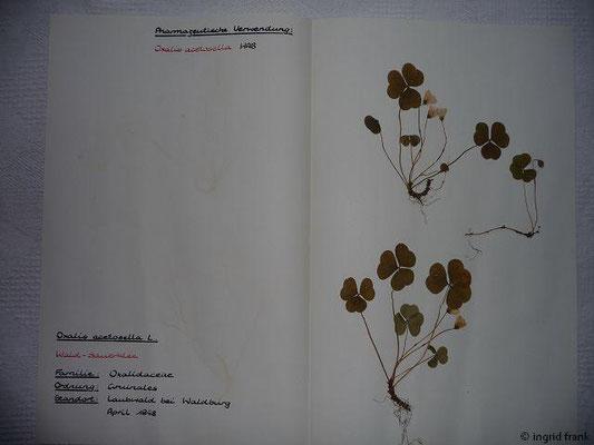 (55) Oxalis acetosella - Wald-Sauerklee