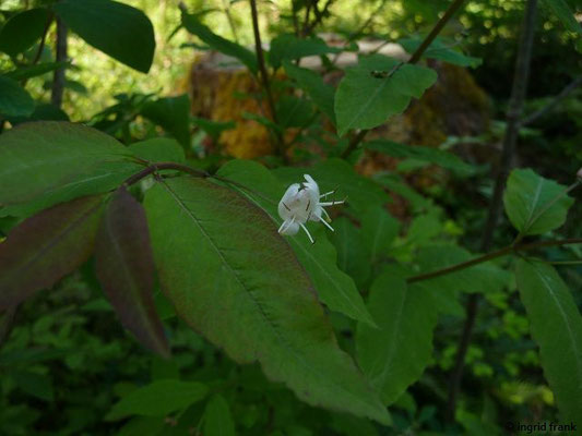 Lonicera nigra - Schwarze Heckenkirsche    V-VI