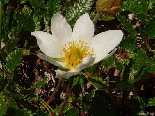 Dryas octopetala / Silberwurz (Botanischer Garten Leipzig)