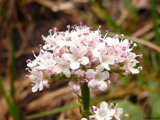 Valeriana dioica / Kleiner Baldrian (männl. Blüte)    V-VI