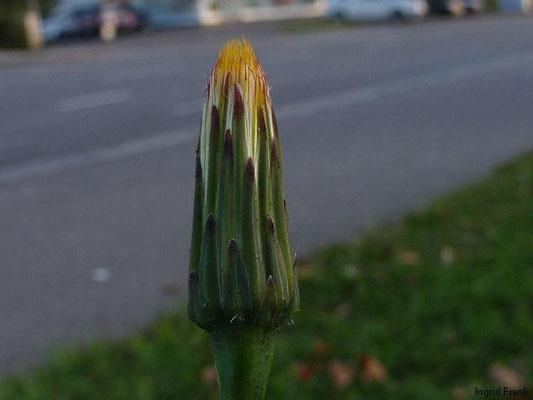 03.10.2012-Hypochaeris radicata - Gewöhnliches Ferkelkraut