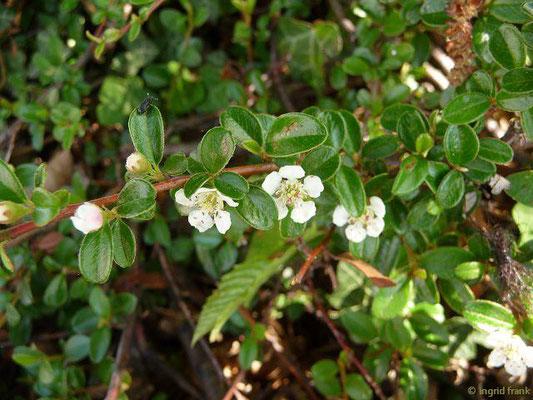 Cotoneaster dammeri - Teppich-Zwergmispel