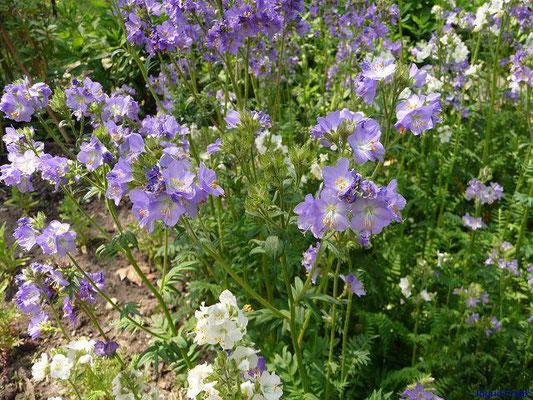 Blaue Himmelsleiter / Polemonium caeruleum