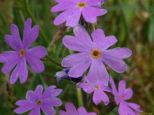 Primula farinosa - Mehl-Primel