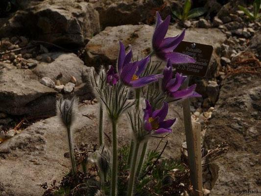 Pulsatilla vulgaris ssp. grandis - Große Küchenschelle