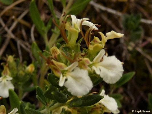 Teucrium montanum / Berg-Gamander    VI-IX