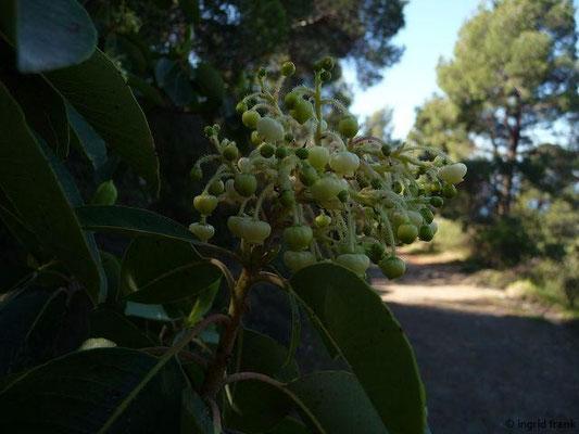 Arbutus andrachne - Östlicher Erdbeerbaum (Griechenland)